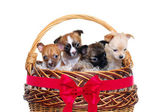 Chihuahua puppies in a basket — Stock Photo