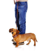 Dog ready to go for a walk with his owner — Stock Photo