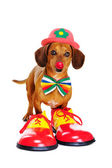 Dog wearing clown outfit — Stock Photo