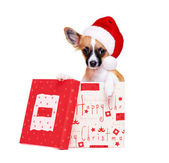 Chihuahua dog   sitting in a box  wearing christmas hat — Stock Photo
