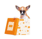 Chihuahua dog   sitting in a box — Stock Photo