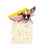 Chihuahua dog   sitting under box cover — Stock Photo