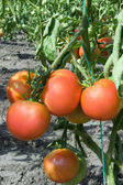 Tomatoes. Growing vegetables. Harvest. — Stock Photo