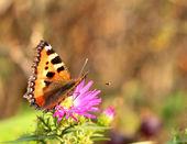 Farfalla piccola tartaruga — Foto Stock