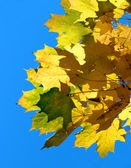 Autumn maple leaves — Stockfoto