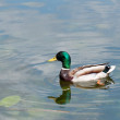 Male duck — Stock Photo