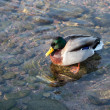 Male duck swimming — Stock Photo