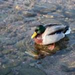 Male duck swimming — Stock Photo
