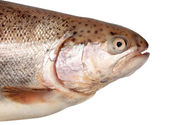 Salmon head — Stock Photo