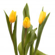 Foto Stock: Three yellow tulips