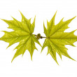 Young maple branch — Stock Photo