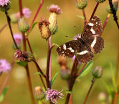 Papillon brun — Photo