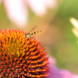 Insect on the flower — Stock Photo