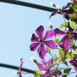 Clematis flower — Stock Photo