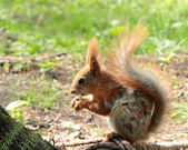 A squirrel eating the nuts — Stock Photo