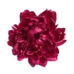 ������, ������: Deep purple peony flower