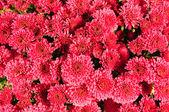 Background of fresh chrysanthemum — Stock Photo