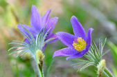 Pulsatilla patens, pasque flower — Stock Photo