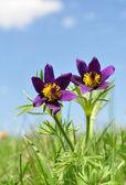 Pasque flower, Pulsatilla patens — Stock Photo
