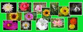 Collage de flowersnature — Photo