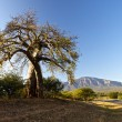 Stock Photo: Baobab tree
