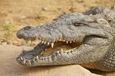 Crocodile — Foto Stock