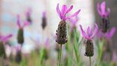 Lavender — Foto Stock