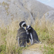 Stock Photo: Penguins in love