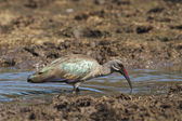 Hadedah Ibis — Stock Photo