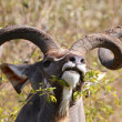 Kudu — Stock Photo