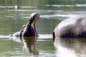 Hipopotam ziewanie — Zdjęcie stockowe