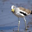 White Crowned Plover — Stock Photo