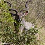 Kudu bull — Stock Photo #49289997