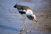 White-Crowned Plover — Stock Photo