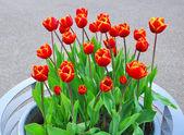 Tulips. — 图库照片