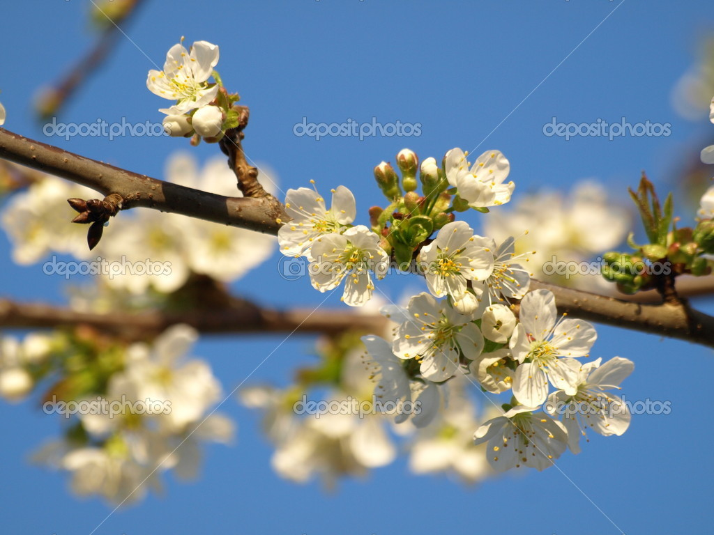 Cherry tree blossoms  — Stock Photo #15735657