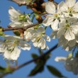 Cherry tree blossoms — Stock Photo #16992619
