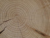 Spruce — Fotografia Stock