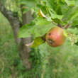 Apples on an apple tree — Stock Photo