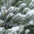 Stock Photo: Scots pine tree with snow