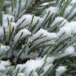 Scots pine tree with snow — Stock Photo #37443465