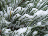 Scots pine tree with snow — Stock Photo