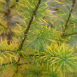 Stock Photo: Larch in autumn
