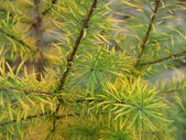 Larch in autumn — Stock Photo