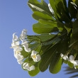 Tropical flowers from deciduous tree, plumeria - 图库照片