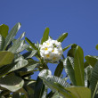 Tropical flowers from deciduous tree, plumeria - Photo