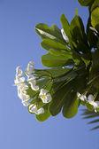 Fleurs tropicales d'arbres à feuilles caduques, plumeria — Photo