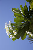 Tropical flowers from deciduous tree, plumeria — Stockfoto