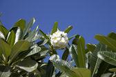 Tropische bloemen uit bladverliezende boom, plumeria — Stockfoto