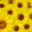 Sunflowers background — Stock Photo #31705031